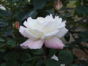 プリスタインの花形は半剣弁高芯咲きです