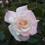 プリスタイン バラ