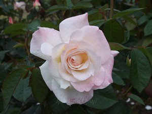 プリスタイン白地の花弁の弁端にウッスラとピンク色のボカシが入ります