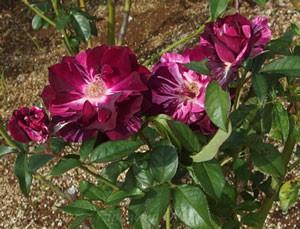 パープル タイガーの花色は赤紫の生地に白い絞りが入る