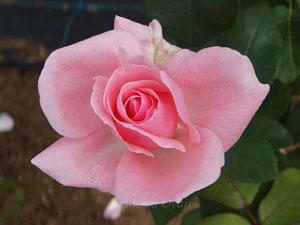 クィーン・エリザベスは丸弁高芯咲きです