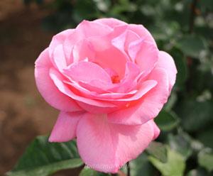クィーン・エリザベスは四季咲き性です
