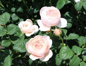 クィーンオブスウェーデンはシュラブ系統のバラ