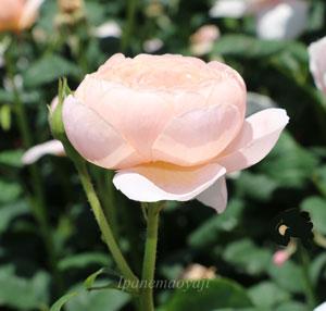 花枝が長くトゲが少ないので切り花に向いている
