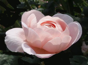 返り咲きはするが夏後の花つきは少ない