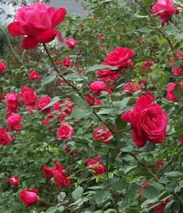 レッド インテューションは花つき花もちがよい品種