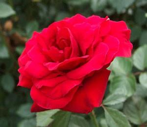 レッド クイーンは大輪四季咲き品種
