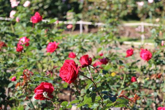 レッド クィーンはハイブリッドティー系統の赤バラ