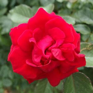 レッドクイーンの花形は剣弁高芯咲きです