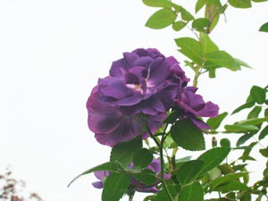 ラプソディ イン ブルーの樹高は約140cm