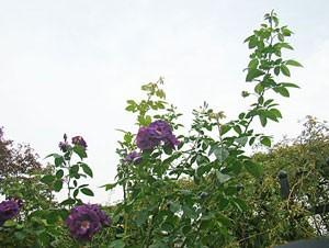 ラプソディ イン ブルーは青紫色の半八重咲き