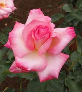 凛の花弁は剣弁高芯咲きの整った花形です