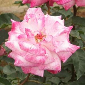 凛はフロリバンダ系統のバラ