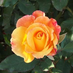 リオ サンバは花径13程の大輪サイズ