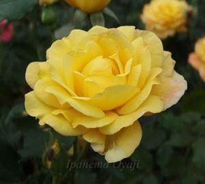カラフルな花色でまるでカーニバルのような賑やかさのバラ
