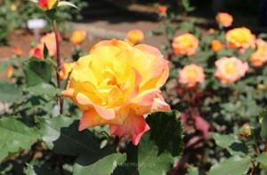 リオ サンバの花形は半剣弁高芯咲き