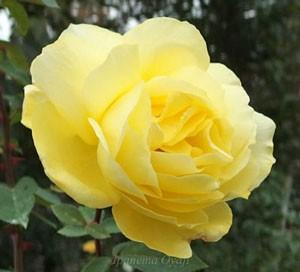 ローズ ヨコハマは四季咲き性のバラ