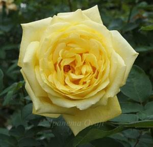 ローズ ヨコハマは半剣弁高芯咲きの巨大輪になるバラ