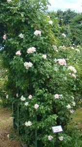 ローゼンドルフ シュパリースホップは暖地ではつるバラとして扱う