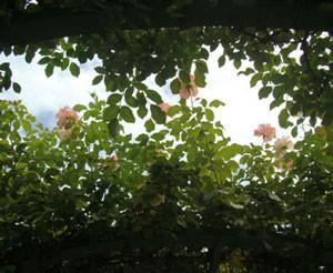 ローゼンドルフ シュパリースホップはカップ状から平咲きになる
