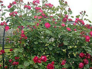 クリムゾンレッド色の大輪咲きつるバラ