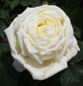 ロイヤルプリンセスの花径は約12cmの大輪サイズ