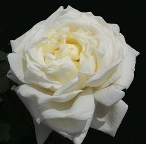 四季咲き性で花形が季節により変化します