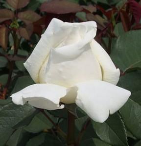 ロイヤルプリンセスはアイボリー色のロゼット咲きになる