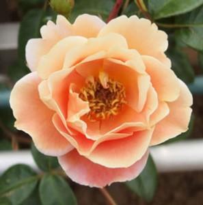 ロイヤルサンセットは大輪咲きつるバラ
