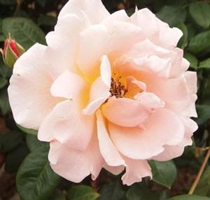 ロイヤルサンセットは丸弁咲き