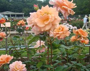 ロイヤルサンセットは枝を短く剪定しても開花する