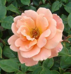 ロイヤルサンセットはアプリコット色とオレンジ色をミックスした花色です
