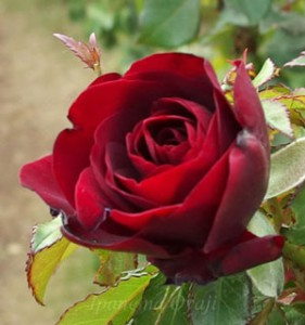 花形は丸弁平咲きの中輪サイズ