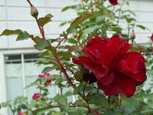 ルビー セレブレーションは濃赤色の中輪花