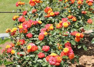 クリーム色の花弁にオレンジ色の覆輪が入る