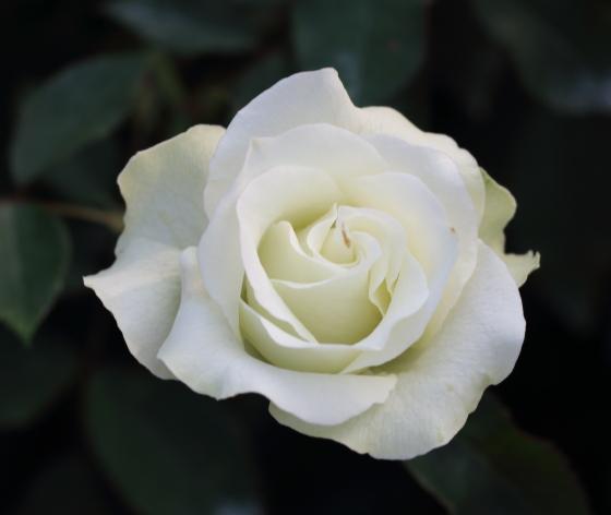 緑光はフロリバンダ系統のバラ