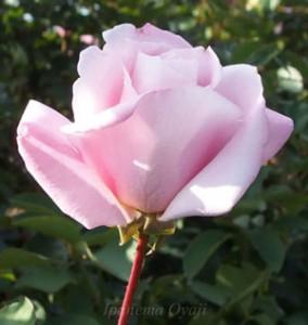 桜貝は半剣弁高芯咲きです