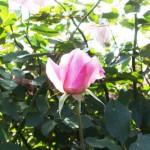 桜貝 バラ