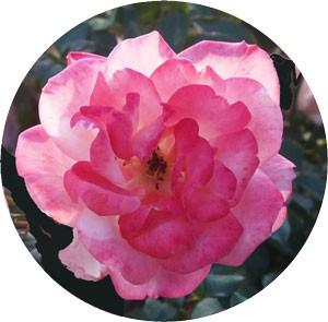桜霞の花形は半剣弁平咲きです