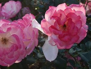 桜霞はフロリバンダ系統です