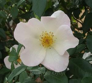 サリー・ホームズは花径が7cm程の中輪花