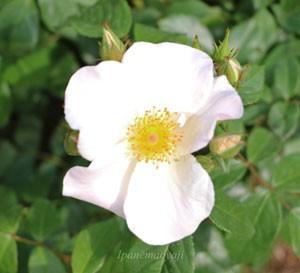 サリー・ホームズの花形は丸弁平咲き