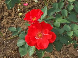 サラバンドの花形は丸弁平咲きです