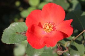 サラバンドは房咲きになり花つきがよい品種です