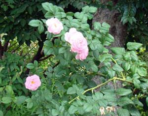 セプタード アイルはカップ咲きです