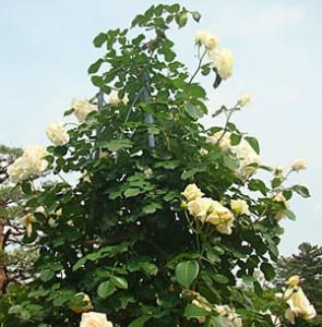 シュネーバルツァーは大輪咲きのつるバラです