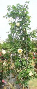 シュネーバルツァーは繰り返し咲き品種です
