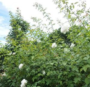 セバスティアン クナイプは返り咲き品種