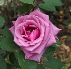 紫雲はハイブリッドティー系統のバラ