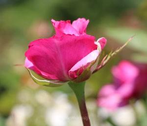 紫雲は花枝が長く花つきがよいので切花用にも向いている